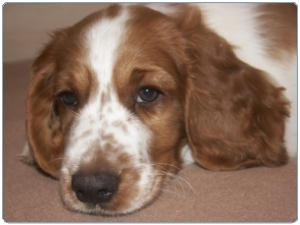 A Welsh springer spaniel puppy wondering what it's all about.