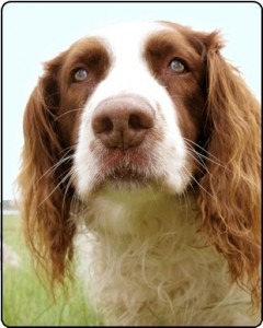 Springer spaniel head from front