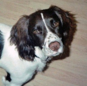 Springer spaniel died of heat exhaustion
